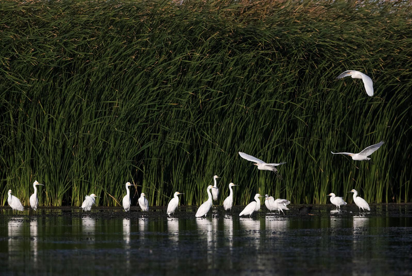 Garza Boyera y Garceta Nivosa en la Ciénega de Santa Clara, los pantanos más grandes que aún quedan en el Dela del Río Colorado. Claudio Contreras Koob