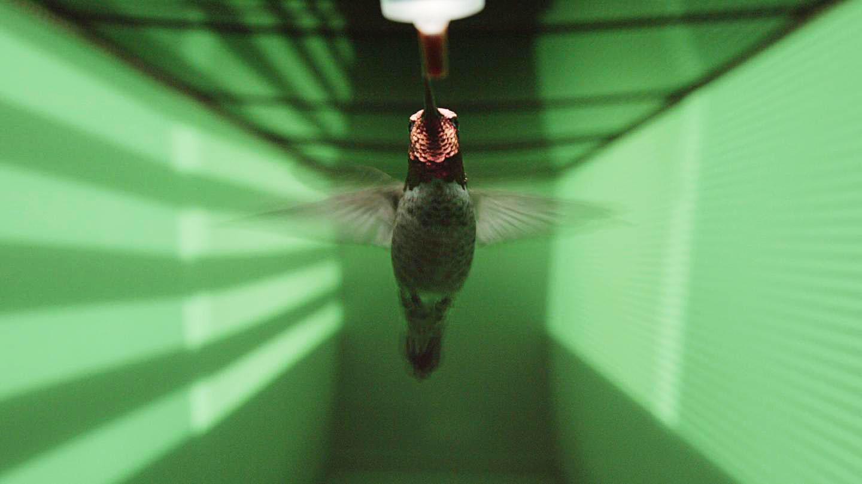 Anna's Hummingbird in a flight tunnel. Charlie Croskery