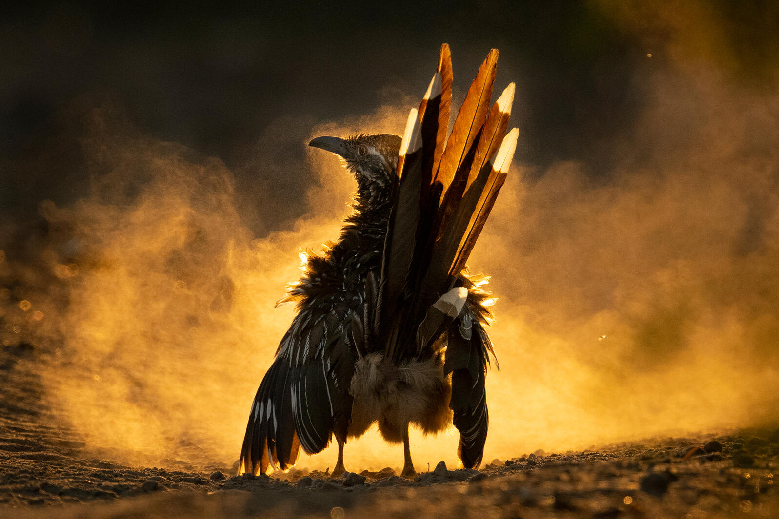 In the midst of an evening dust bath, a Greater Roadrunner stands proudly, backlit by the sun. Brilliant, golden light exposes white-tipped tail feathers that contrast with downy feathers fanning out from its sides. Dust from a recent roll in the dirt lingers in the air.