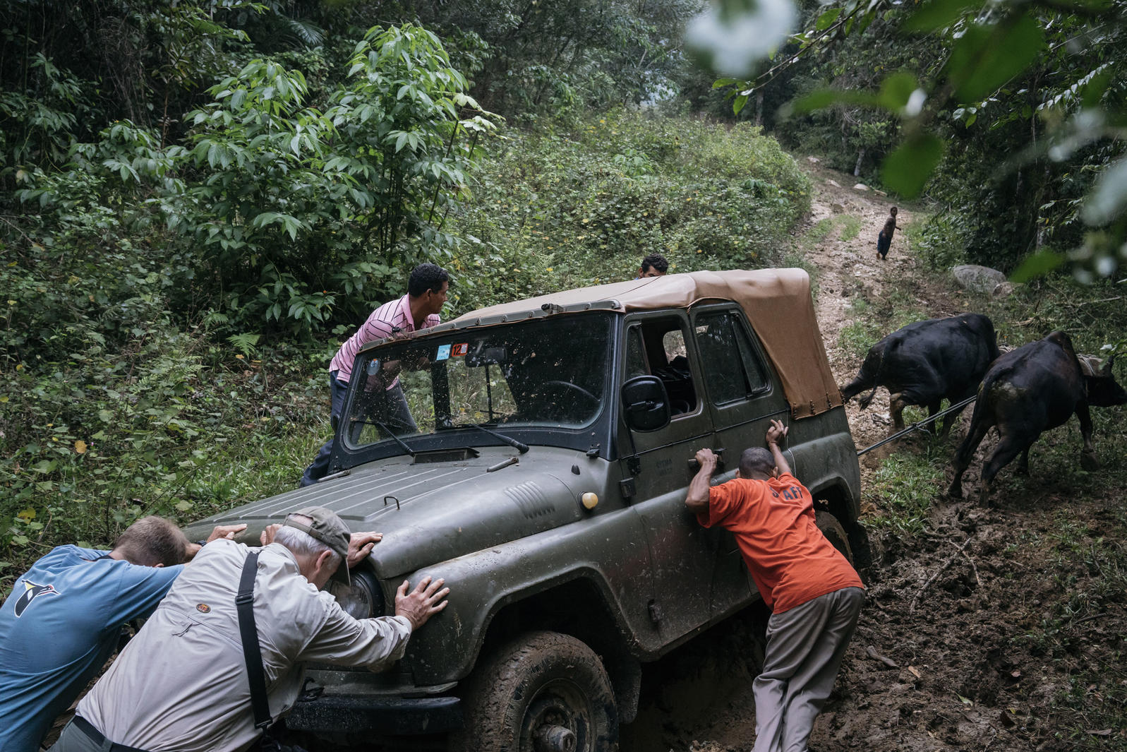 Stuck in the mud with a dead battery, the Ivory-Bill team gets a little help from kindly neighbors and a pair of oxen to get their jeep back on track. Greg Kahn