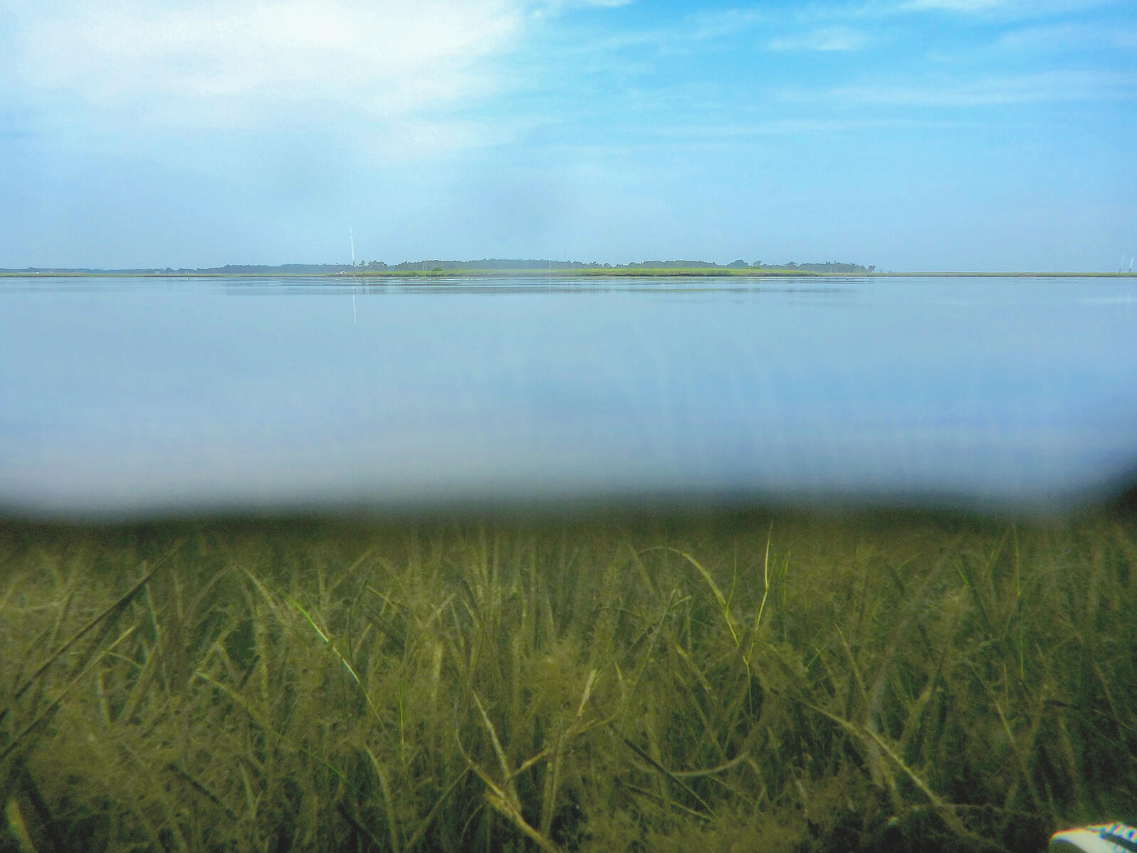 A mix of eelgrass and widgeongrass can be seen near Goodwin Island in the lower York River, an estuary of Chesapeake Bay. Emily French/Virginia Institute of Marine Science/Flickr (CC BY NC ND 2.0)