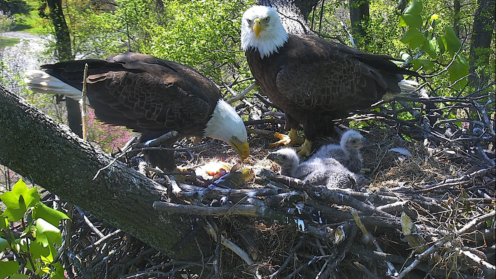 "The National Arboretum's Bald Eagle family. <a href=""www.eagles.org"">2016 American Eagle Foundation</a>"