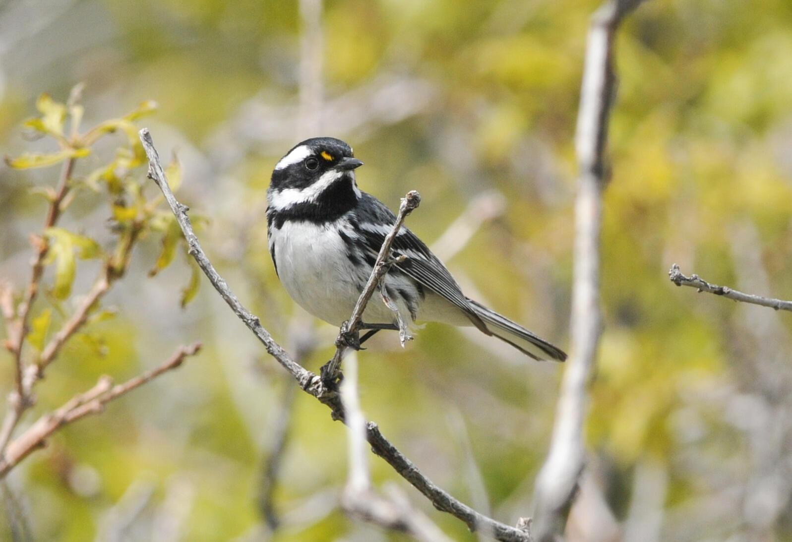 Black-throated Gray Warbler. Scott Somershoe/USFWS/Flickr (CC 0)