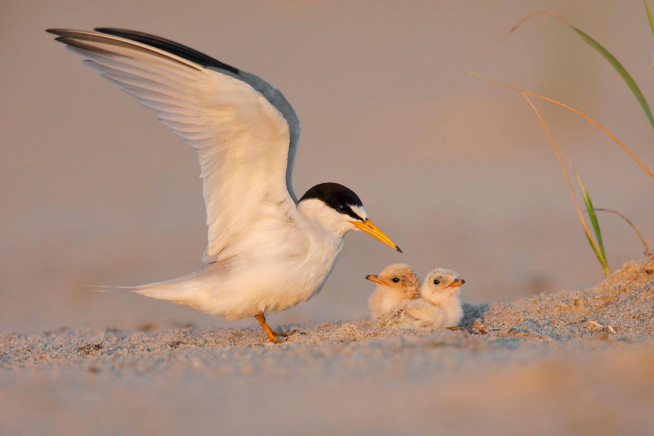 Least Tern with downy young. Kenton Gomez/Audubon Photography Awards