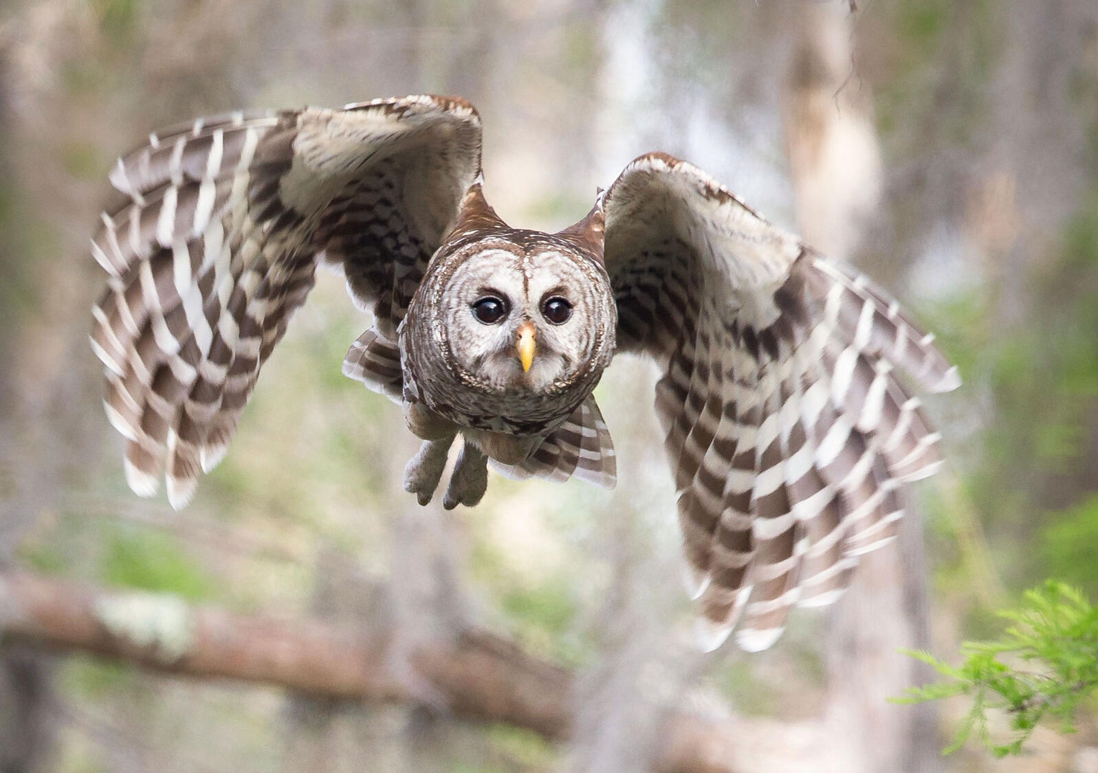 """Barred Owl flight is described as """"light, buoyant, and noiseless"""" as they fly between trees—or hover for 20 seconds to pounce on mousy prey. Sandra Rothenberg/Audubon Photography Awards"""
