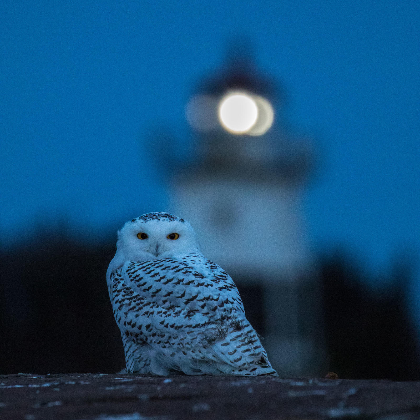 Think a Snowy Owl is impressive in the daylight? Wait until you spot their ghostly figure at night. Ryan Pennesi/Audubon photography Awards