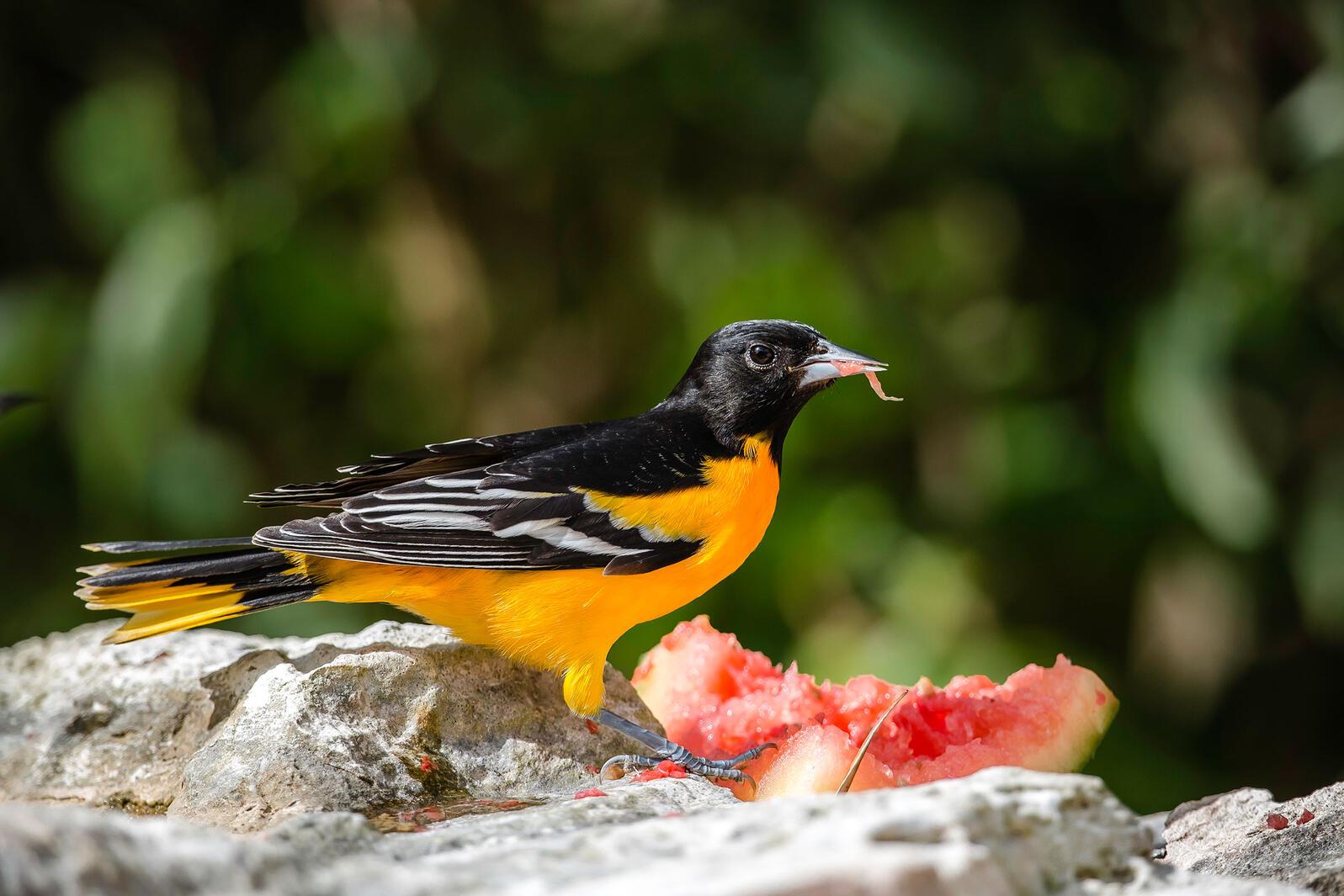Baltimore Oriole. Lorraine Minns/Audubon Photography Awards