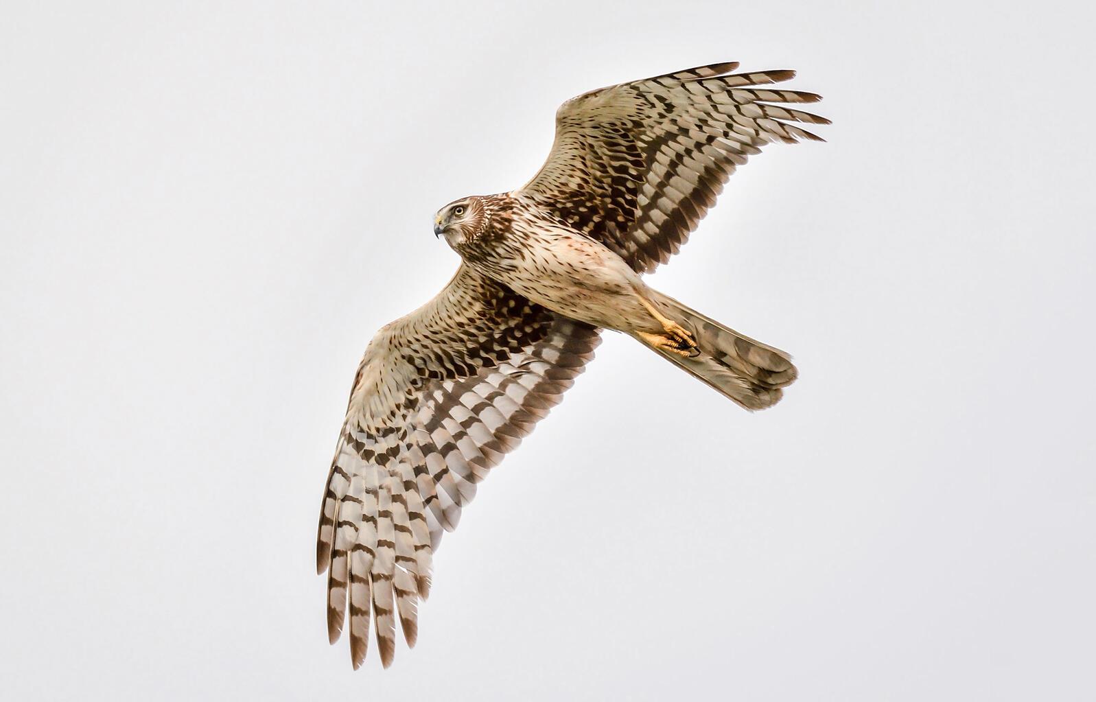 Northern Harrier. Brad Lewis/Audubon Photography Awards