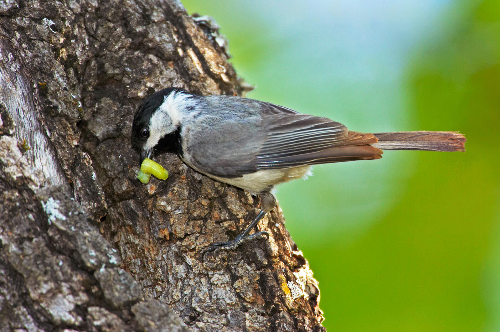 Carolina Chickadees sure love their caterpillars and insects: Invertebrates comprise up to 90 percent of some individuals' diets. Papilio/Alamy