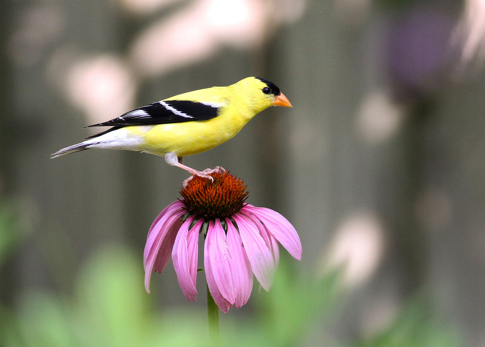 American Goldfinch on Echinacea Purpurea, commonly known as Purple Coneflower. Will Stuart