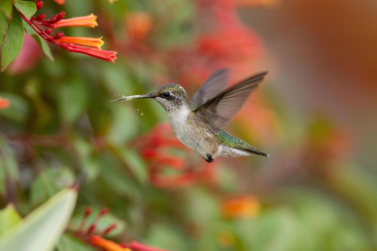 Ruby-throated Hummingbird. Gary Robinette/Audubon Photography Awards