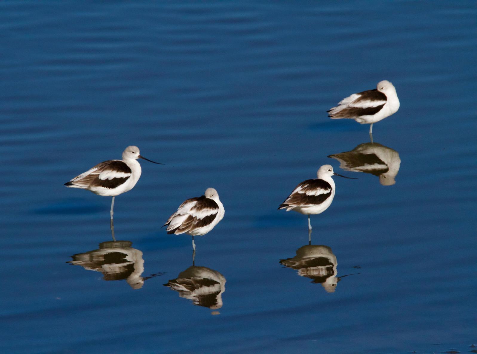 American Avocets. Andrea Driggs/Audubon Photography Awards
