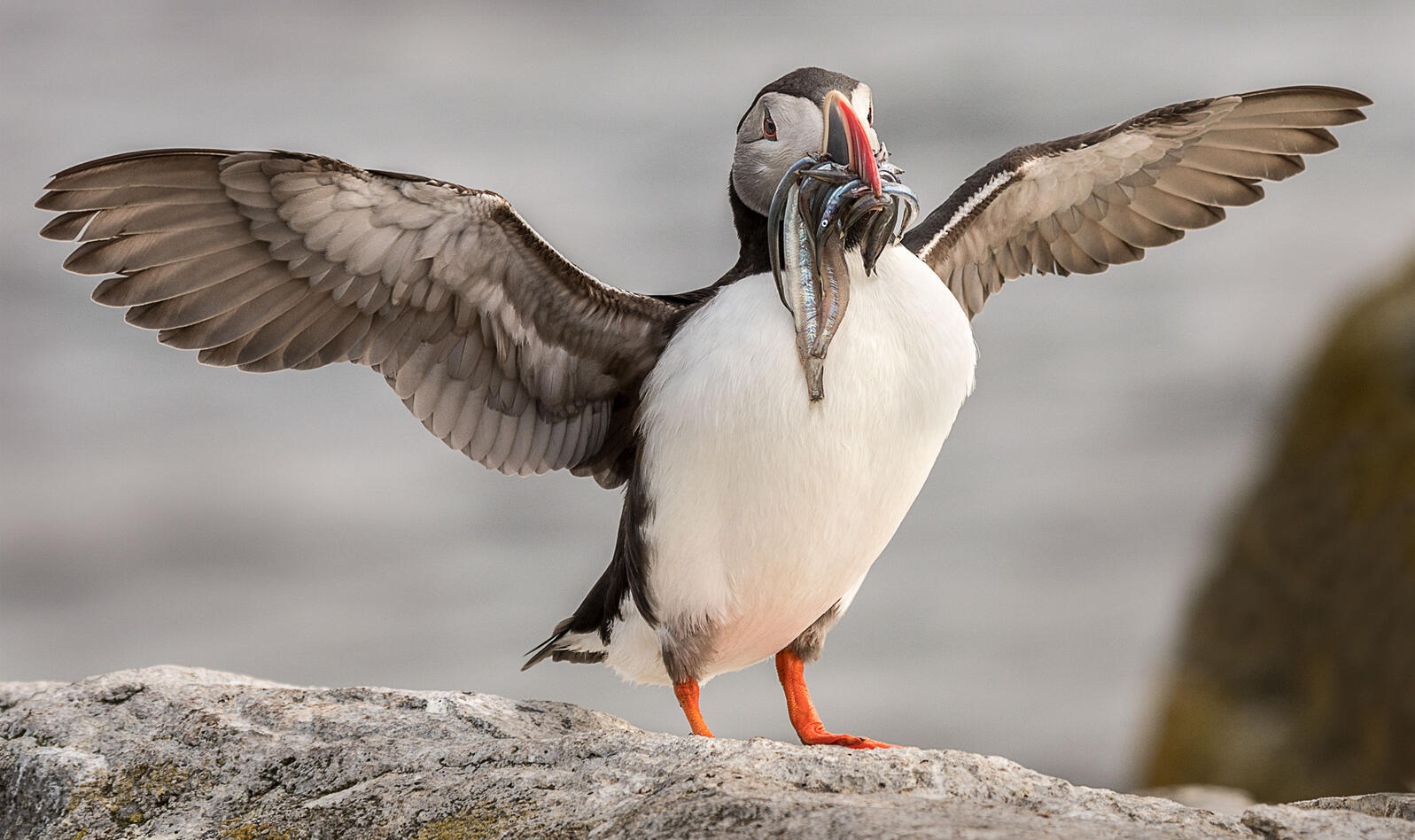 Atlantic Puffin. Ann Fulcher/Audubon Photography Awards