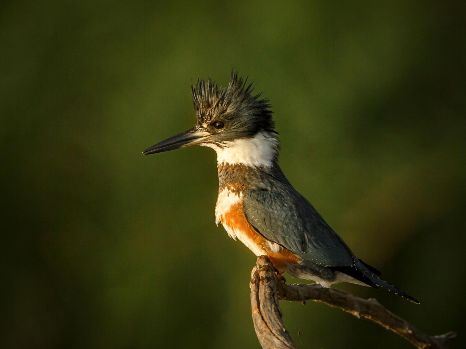 Belted Kingfisher. Jerry am Ende/Audubon Photography Awards