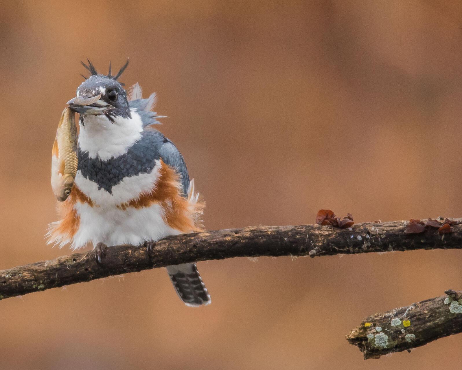 Belted Kingfisher. Michael Harvey/Audubon Photography Awards