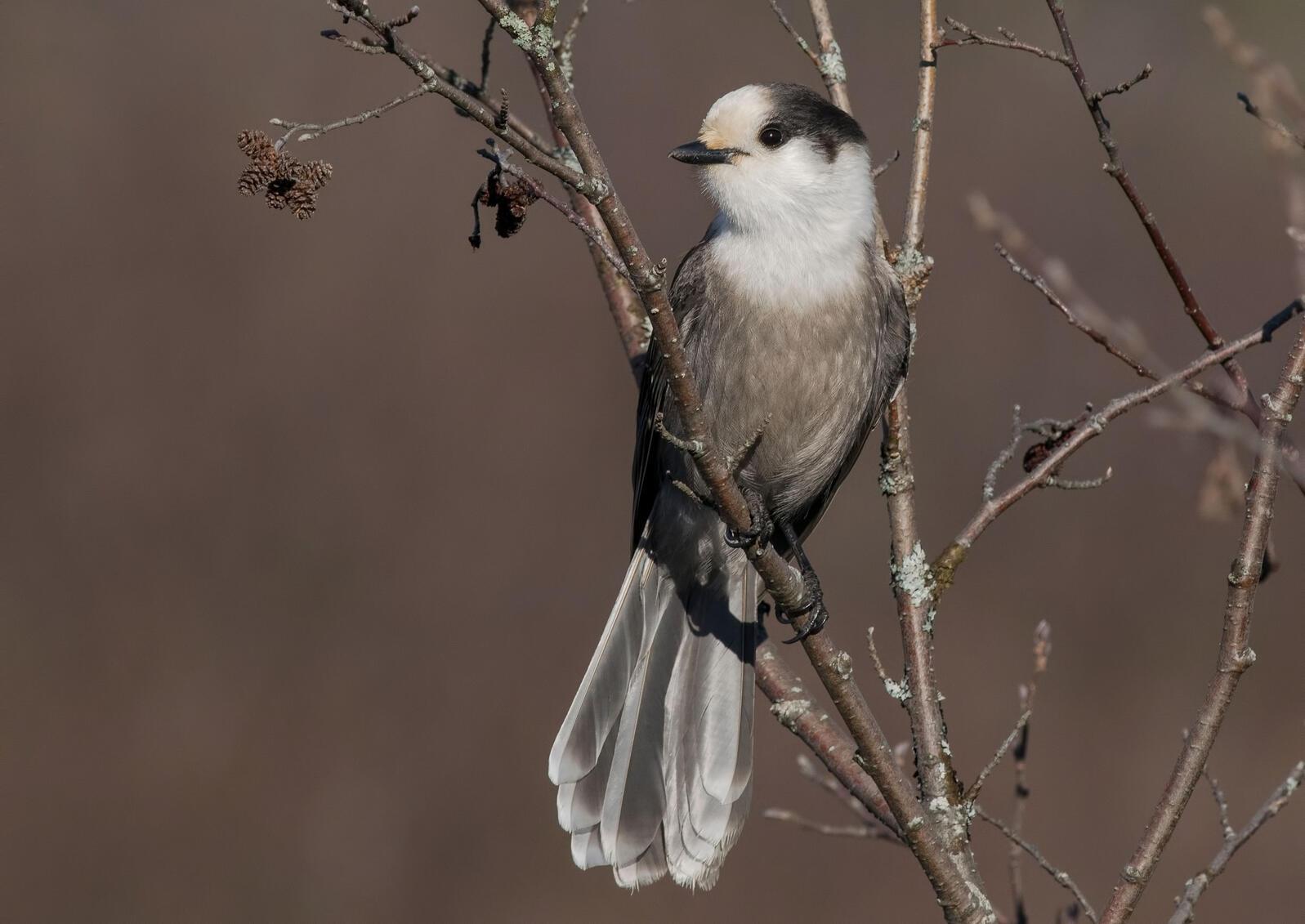 Canada Jay. Alejandra Lewandowski/Audubon Photography Awards