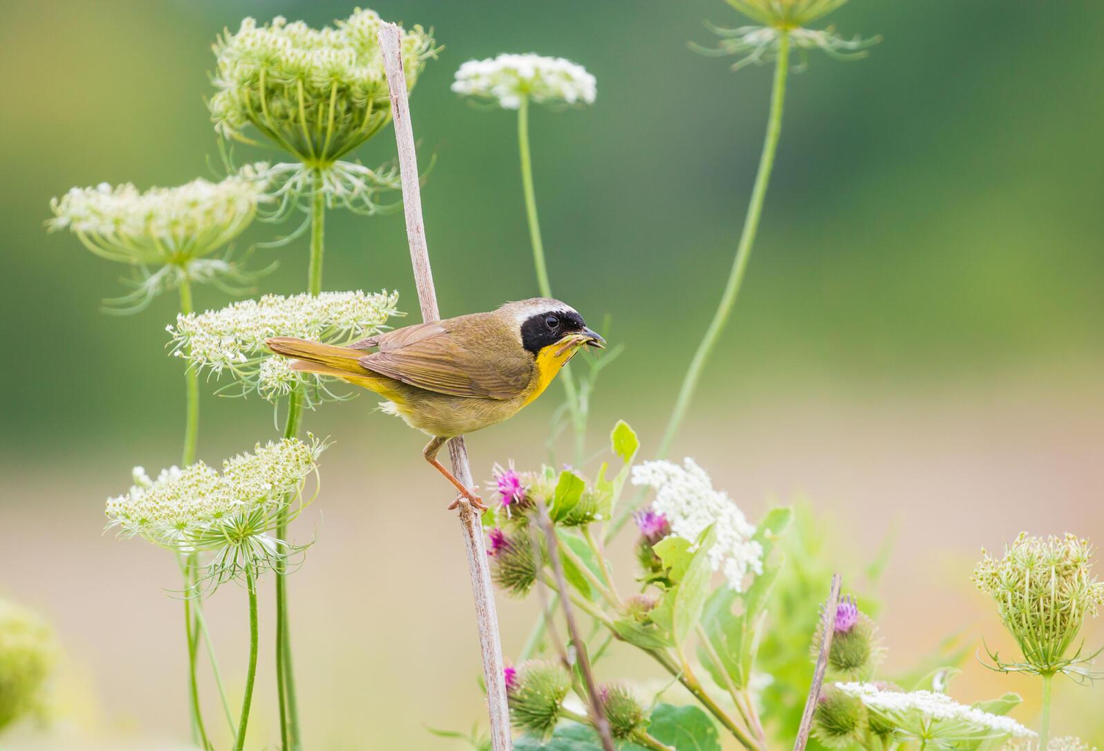Common Yellowthroat. Karen Brown/Audubon Photography Awards
