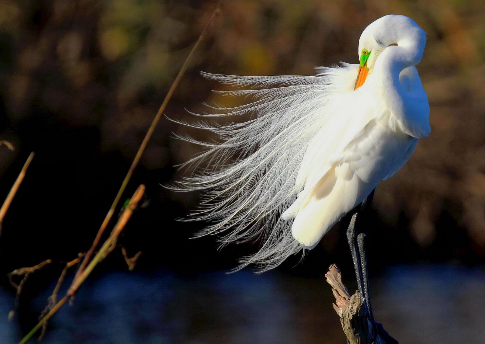 Great Egret. Erin Smith/Audubon Photography Awards