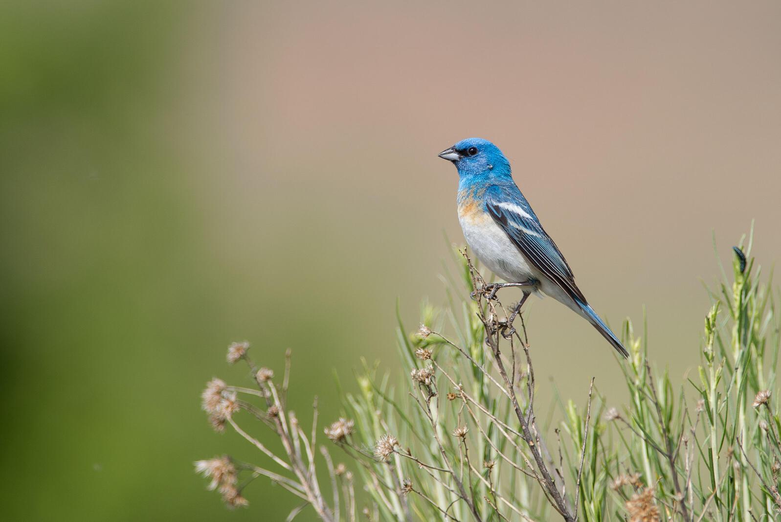 Lazuli Bunting. Melissa James/Audubon Photography Awards