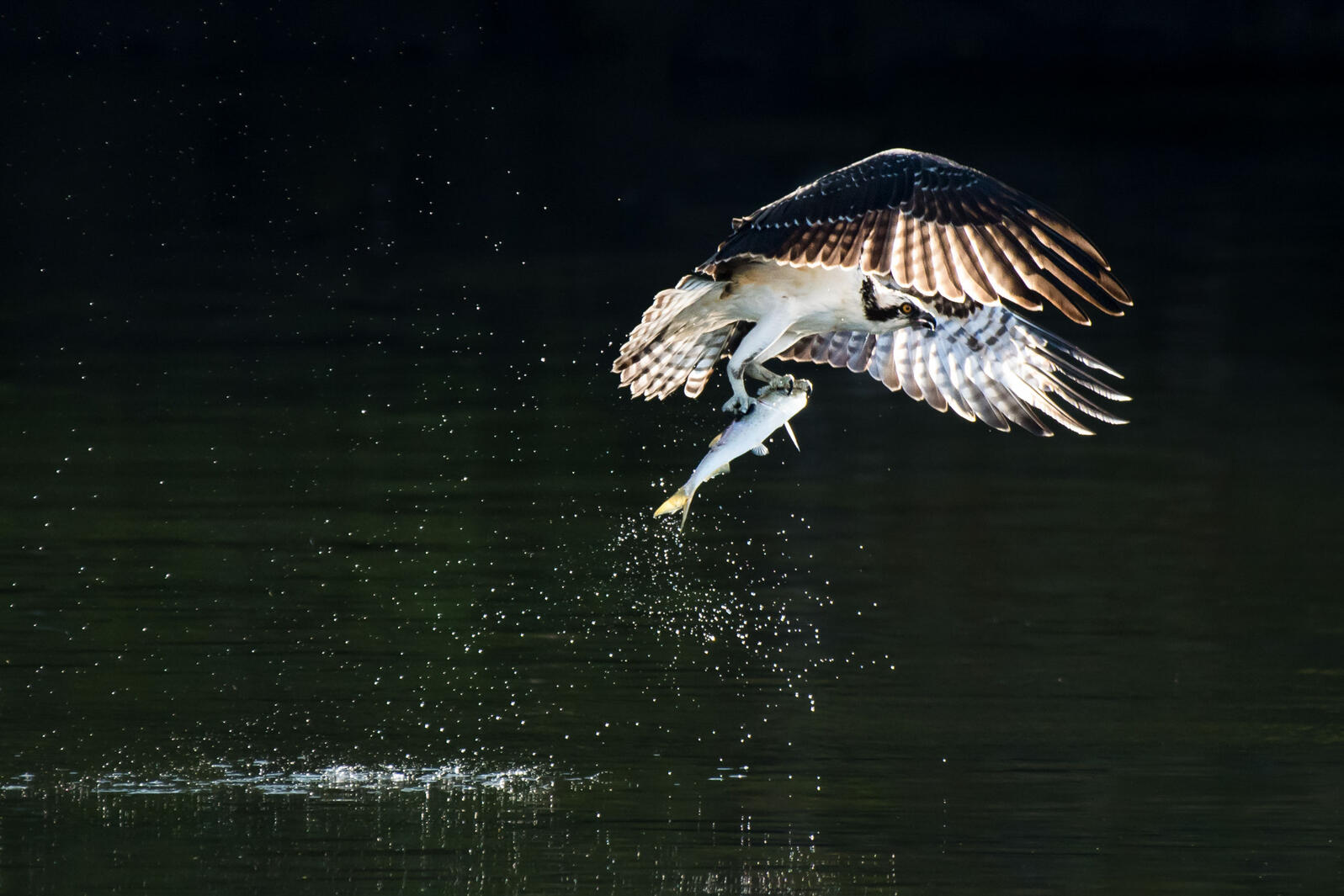 Osprey with a menhaden in its grasp. Abeselom Zerit/Audubon Photography Awards