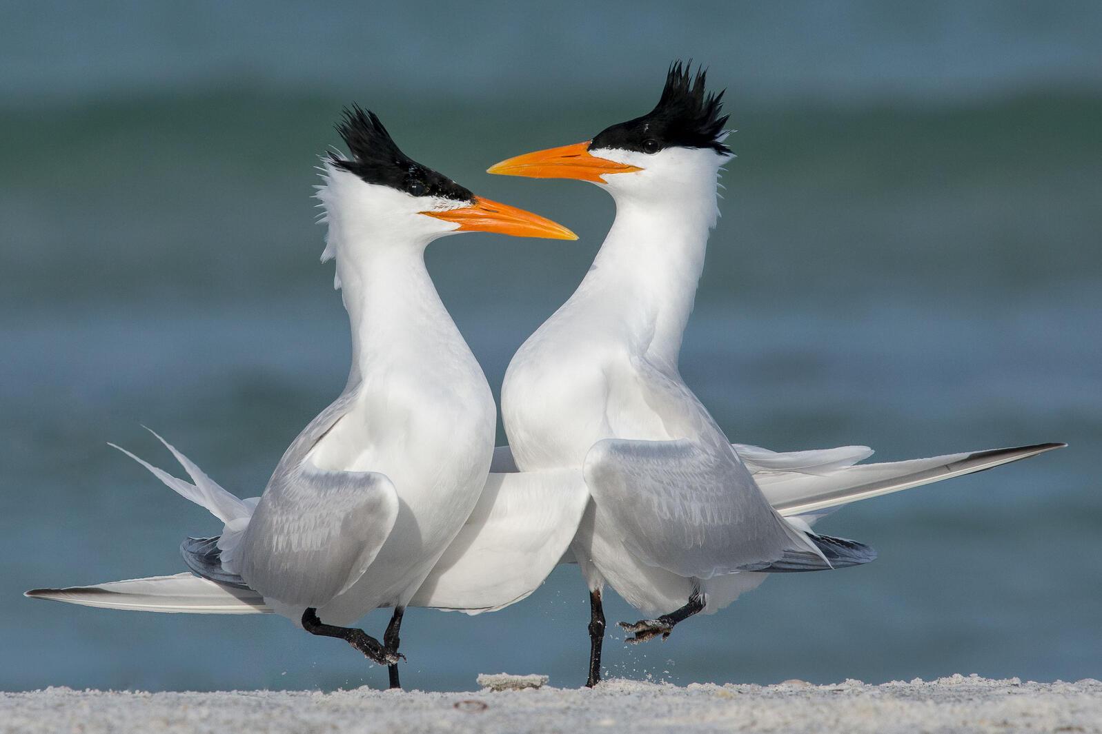Royal Terns. Melissa James/Audubon Photography Awards