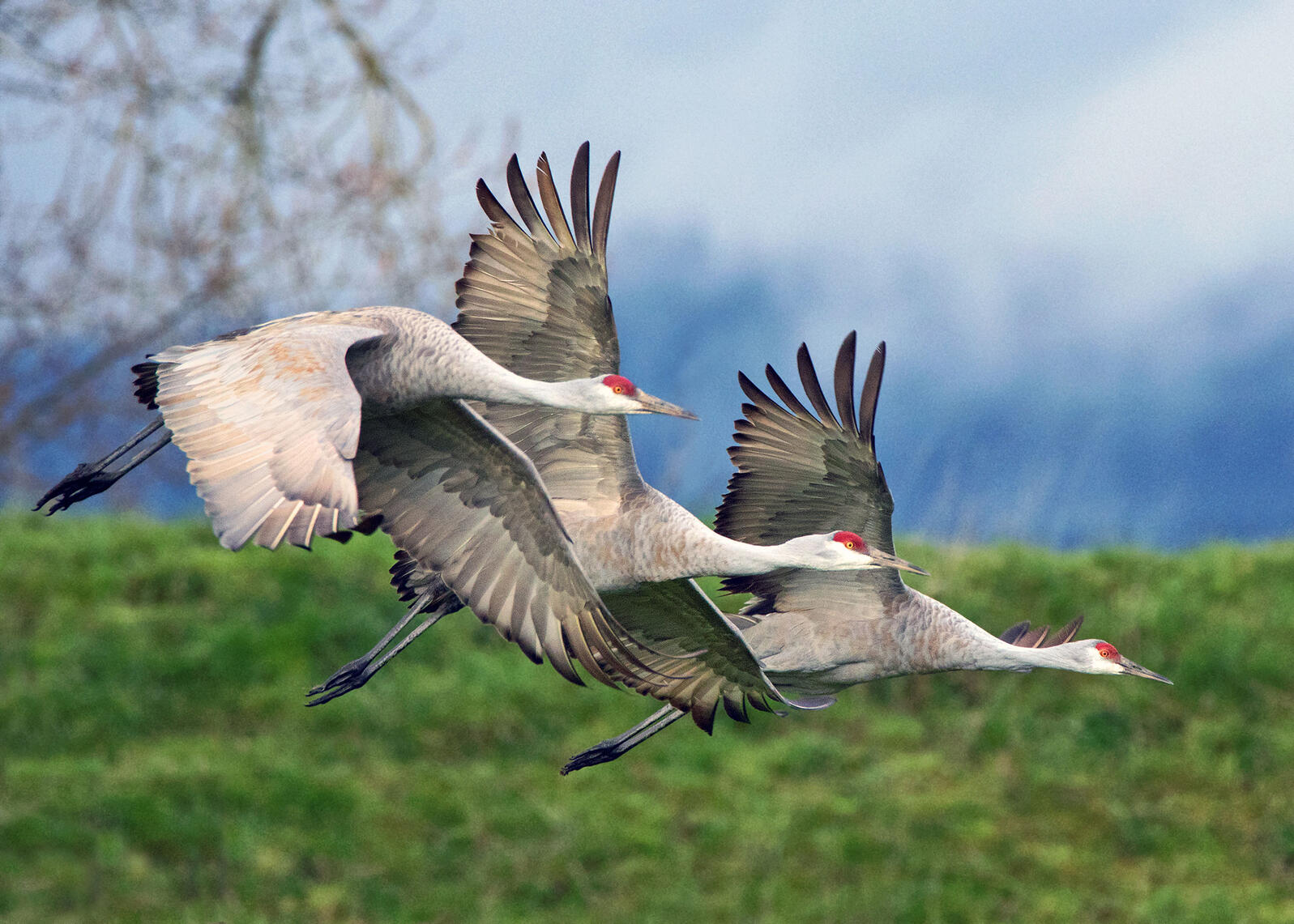 Sandhill Cranes. Gary Grossman/Audubon Photography Awards
