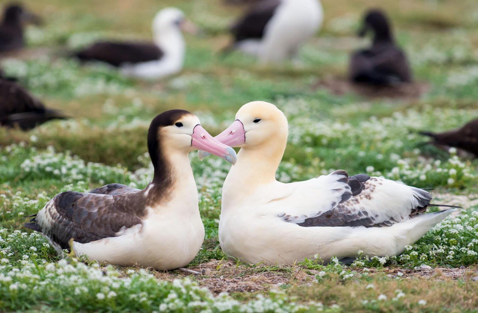 Short-tailed Albatross. Kat Paleckova/Audubon Photography Awards
