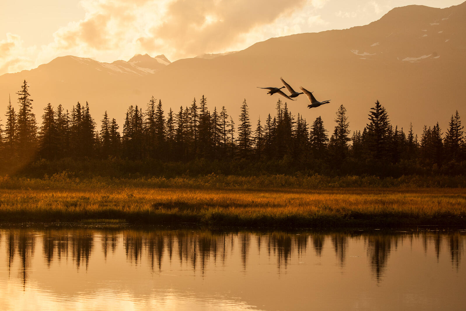 Tundra Swans. Joshua Pelta-Heller/Audubon Photography Awards