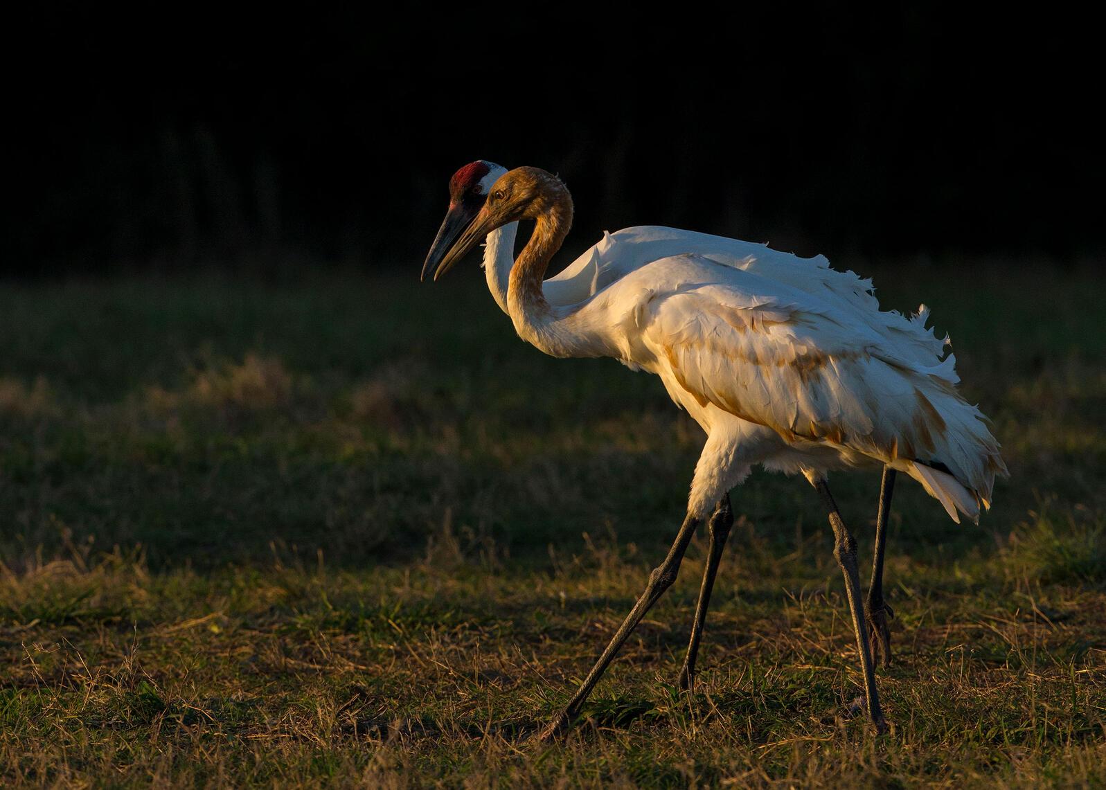 Whooping Cranes. Tim Timmis/Audubon Photography Awards