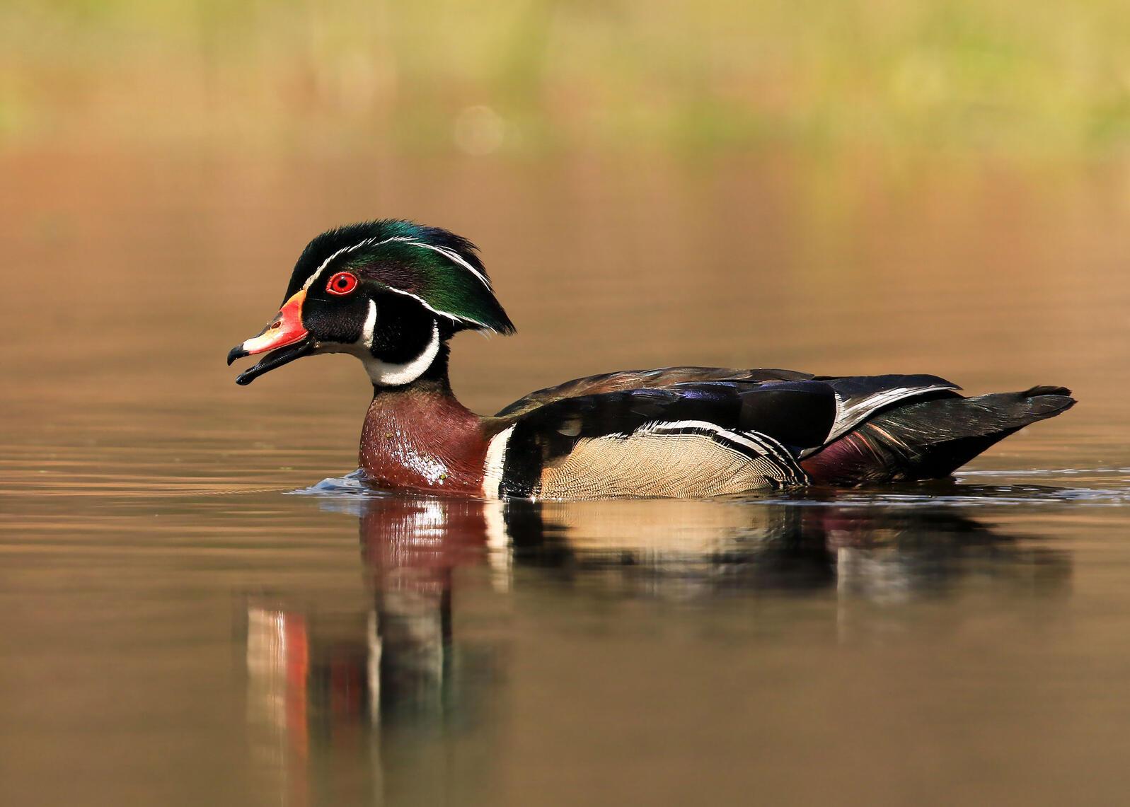 Wood Duck. Teri Franzen/Audubon Photography Awards
