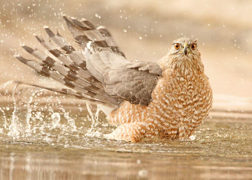 Cooper's Hawk. Jim Burns/Audubon Photography Awards