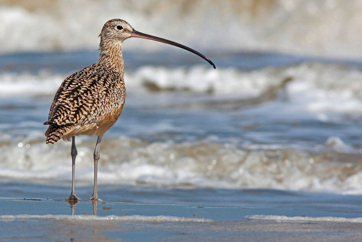 Long-billed Curlew. Stephen Pollard/Audubon Photography Awards