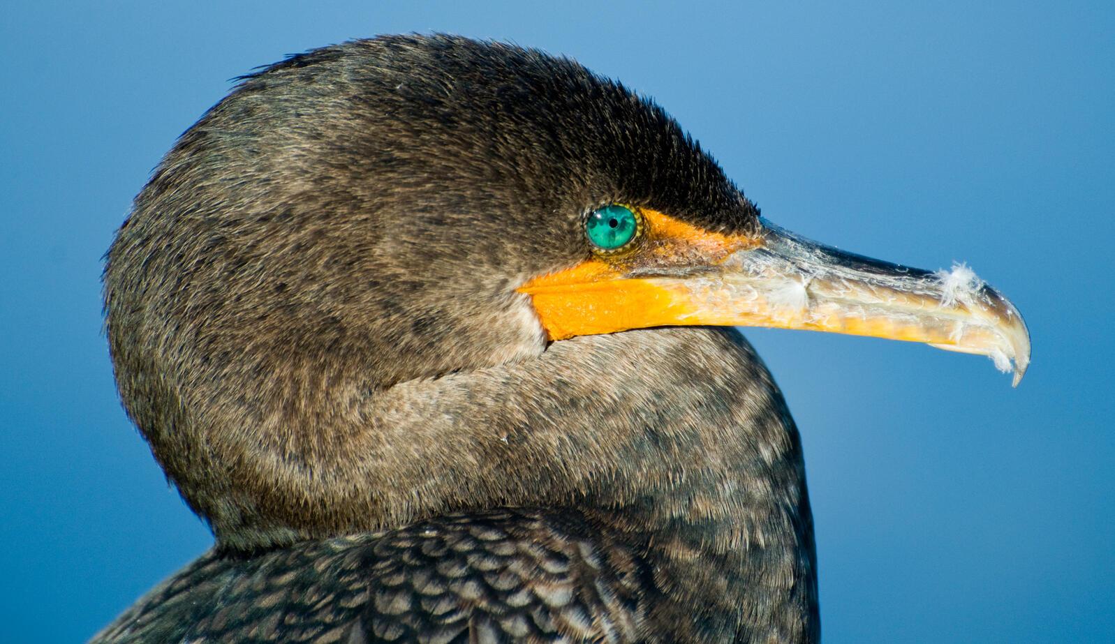 Double-crested Cormorant. Howard Izenwasser/Great Backyard Bird Count