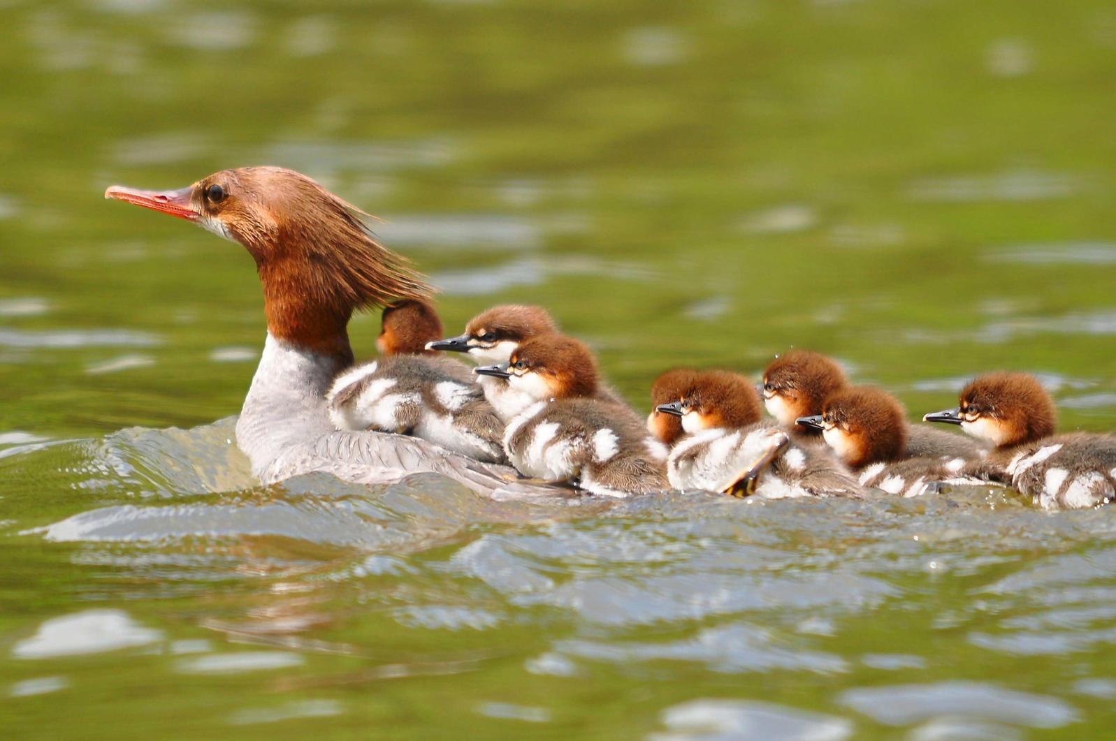 Common Mergansers. Lynn Cleveland/Audubon Photography Awards