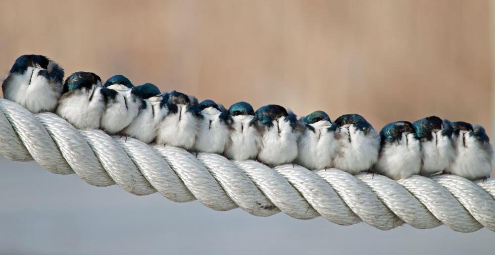 Tree Swallows. Katherine Westover/Audubon Photography Awards