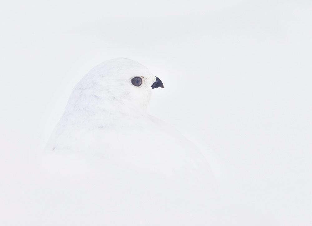 White-tailed Ptarmigan. Fi Rust/Audubon Photography Awards