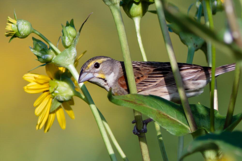 Dickcissel. Gene Petersen/Audubon Photography Awards