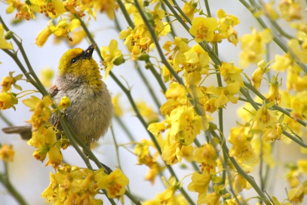 Verdin. Lisa Langell/Audubon Photography Awards