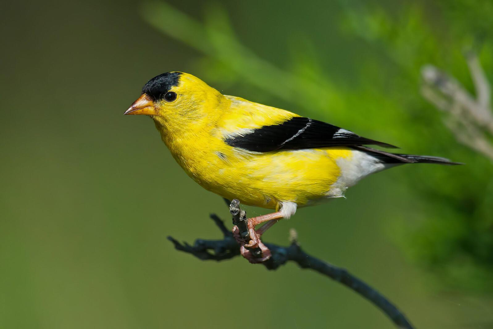 American Goldfinch. Brian Kushner/Audubon Photography Awards