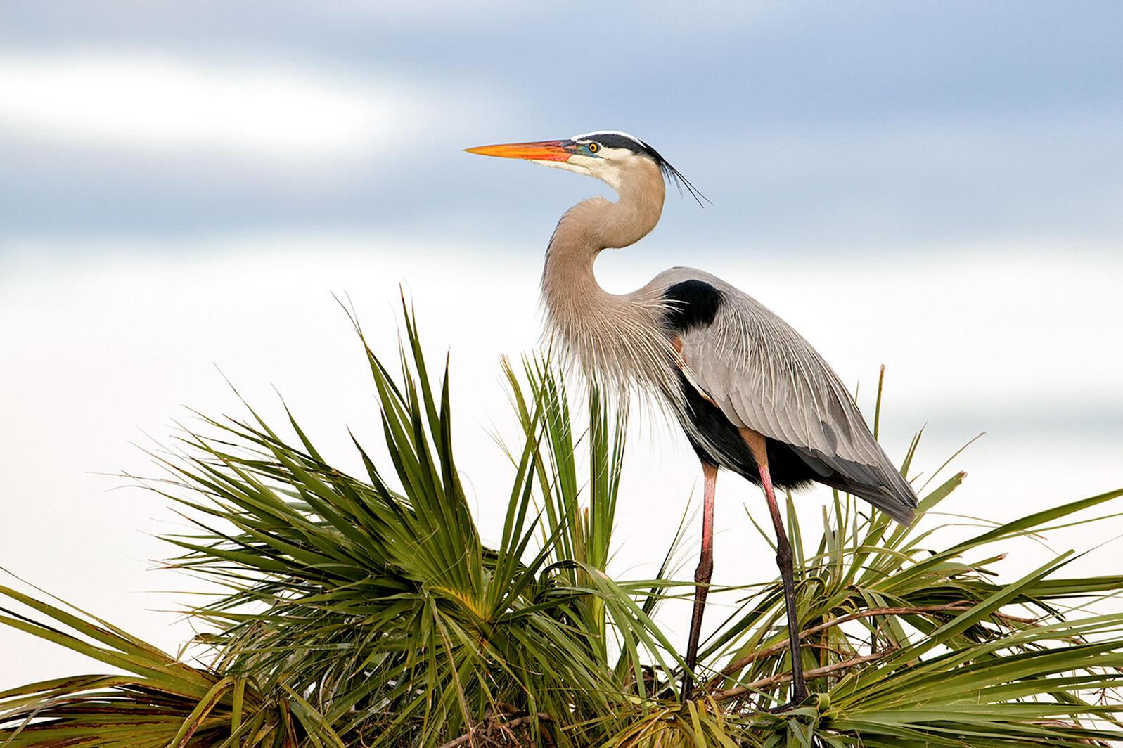 Great Blue Heron. Michael Libbe/Audubon Photography Awards