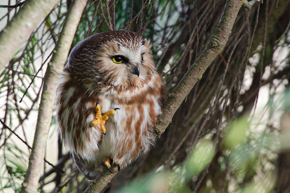 Northern Saw-whet Owl. Debra Herst/Audubon Photography Awards