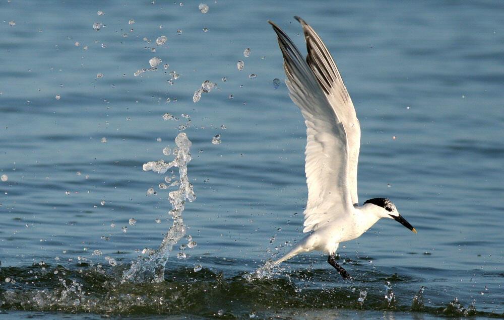 Sandwich Tern. Danny Sauvageau/Audubon Photography Awards