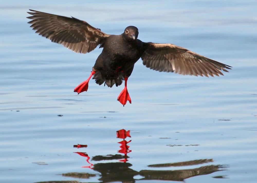 Pigeon Guillemot. Govin Darosling/Audubon Photography Awards