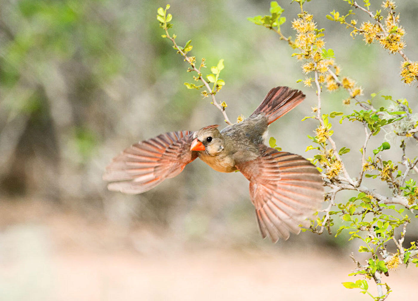 A female Northern Cardinal. Donald Wuori/Audubon Photography Awards