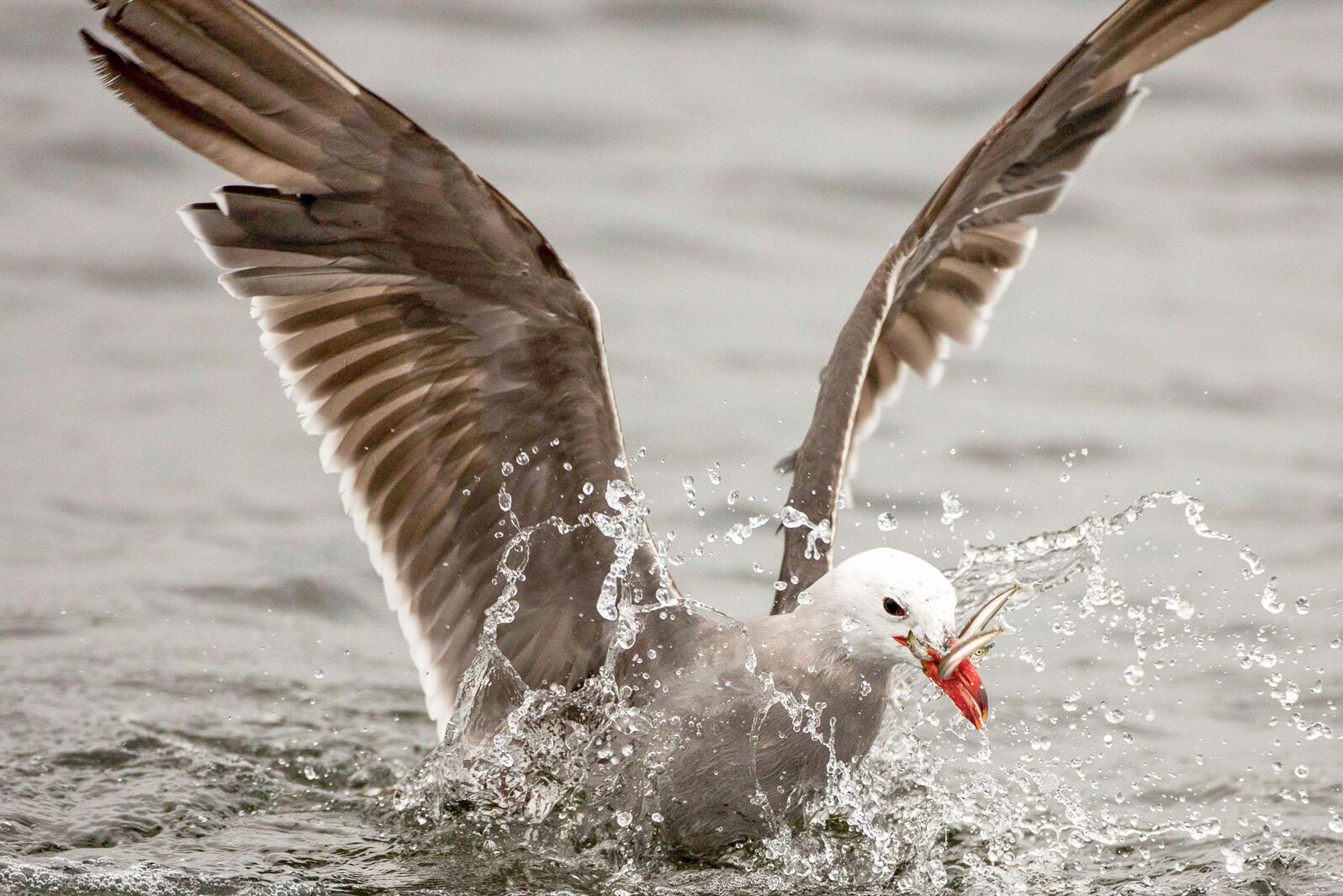 Heermann's Gull. Janine Schutt/Audubon Photography Awards