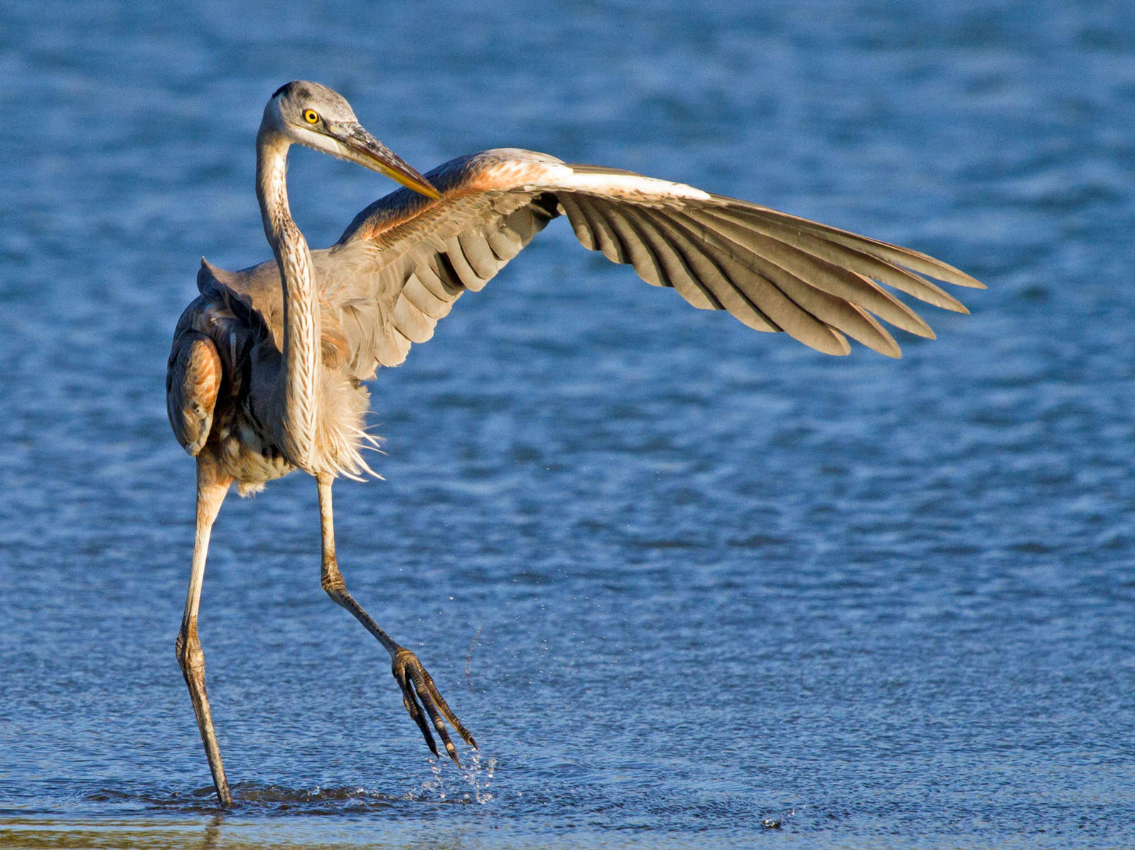 Great Blue Heron. Katherine Westover/Audubon Photography Awards