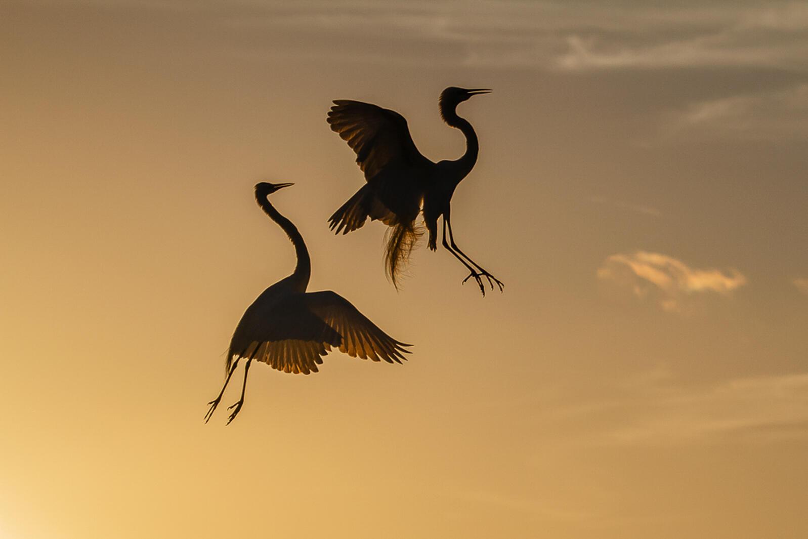 Great Egrets. Lorraine Minns/Audubon Photography Awards