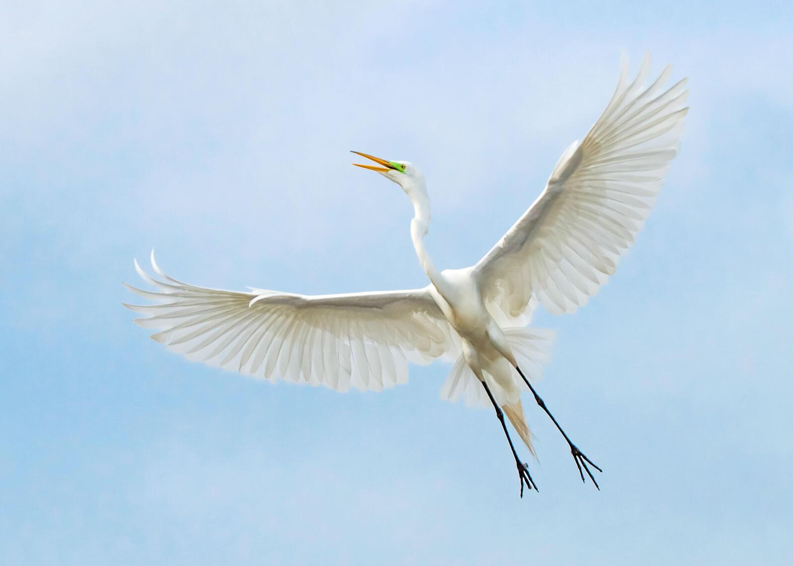 Great Egret. Patricia Aokeefe/Audubon Photography Awards