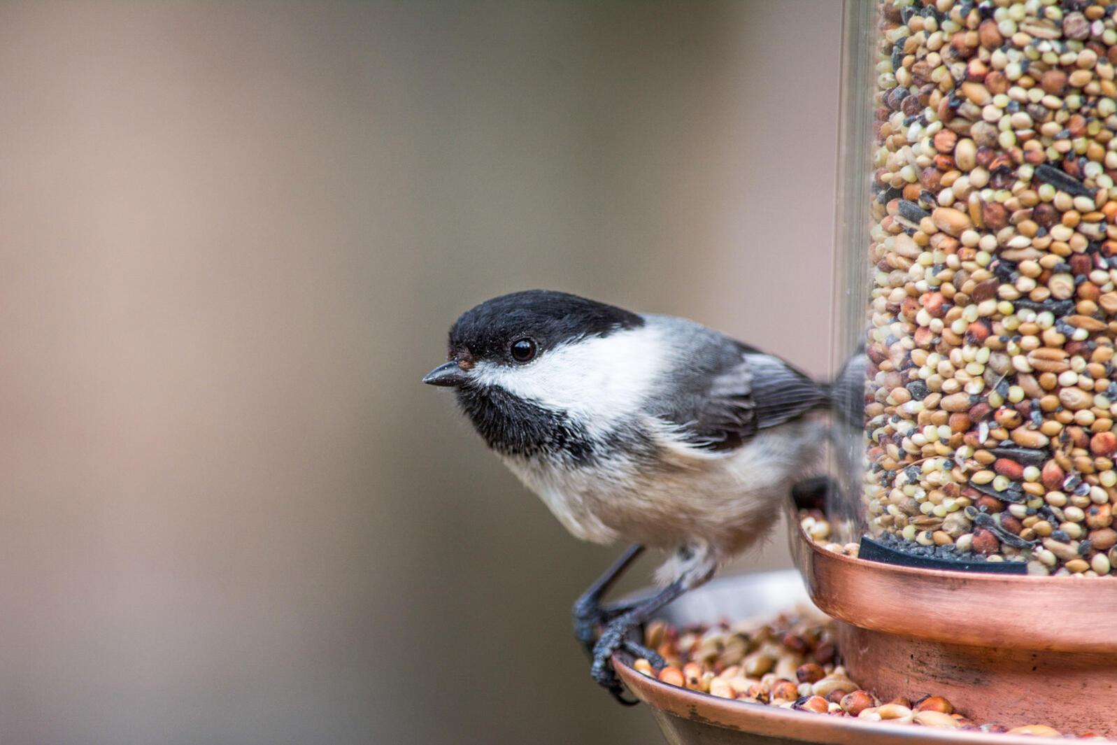 Black-capped Chickadee. Toni Herkalo-Koch/Audubon Photography Awards