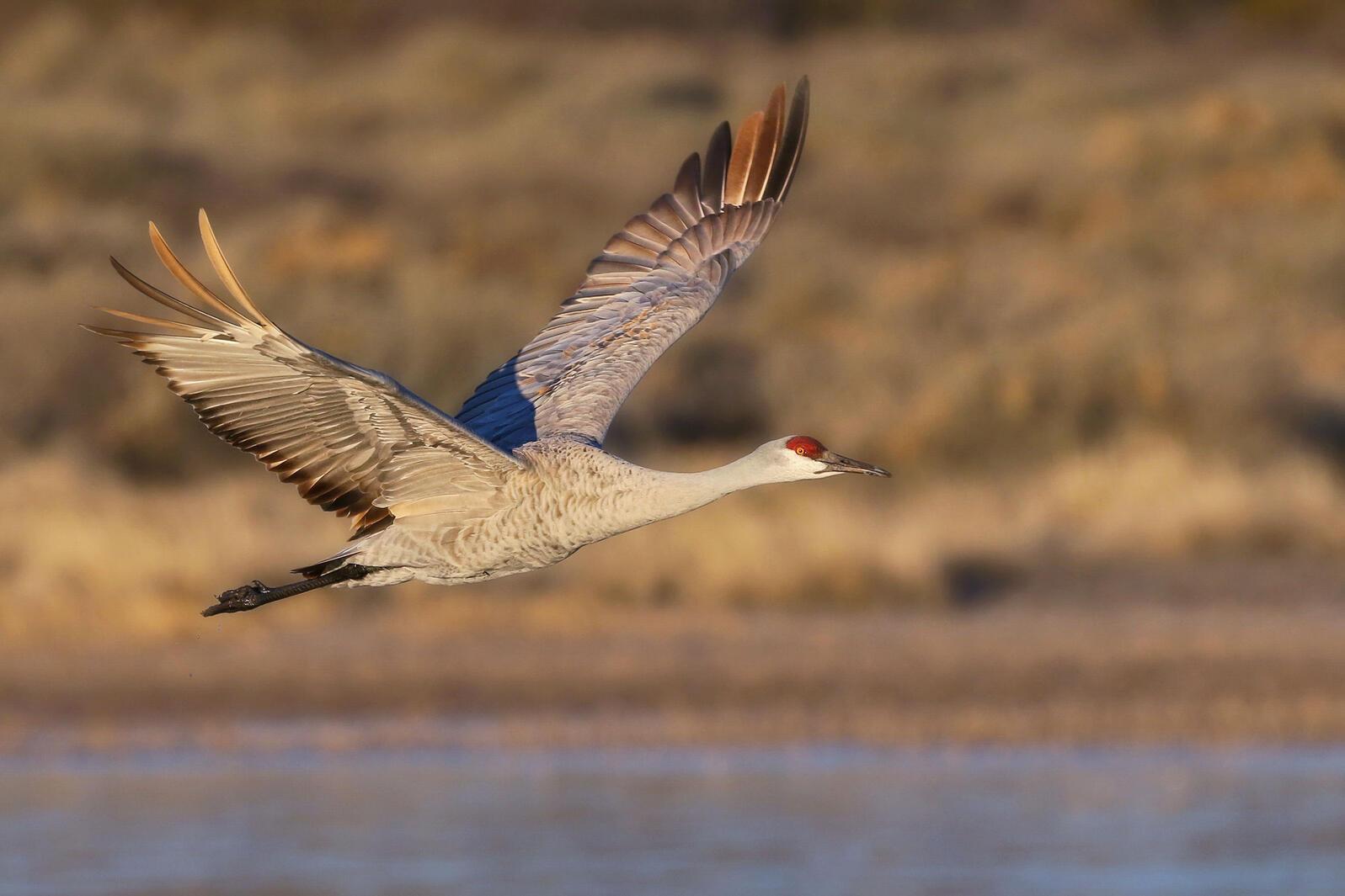 Sandhill Crane. Richard Wallace/Audubon Photography Awards